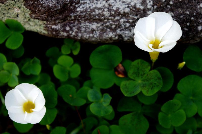 お庭の花 1.JPG