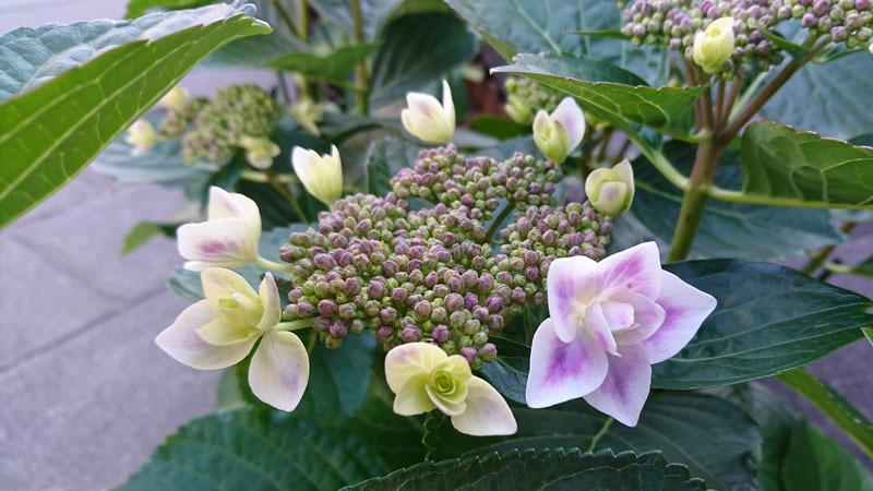 ながさき紫陽花まつり 10.JPG