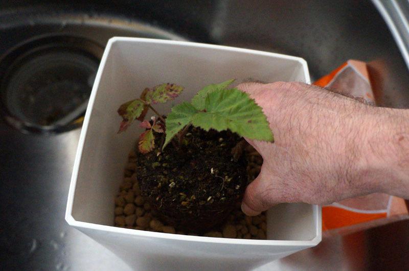 ブラックベリーの植え付け 5.JPG