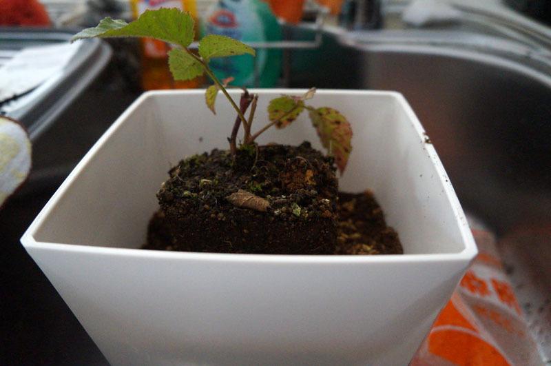 ブラックベリーの植え付け 6.JPG