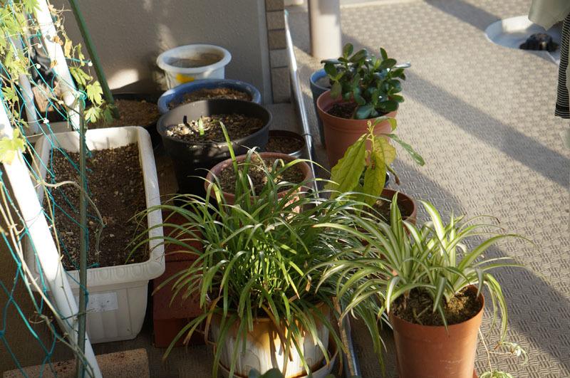 ベランダの植物.JPG