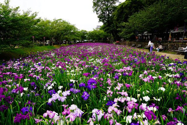 大村公園 花菖蒲園 1.JPG