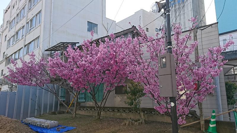 桜?.JPG