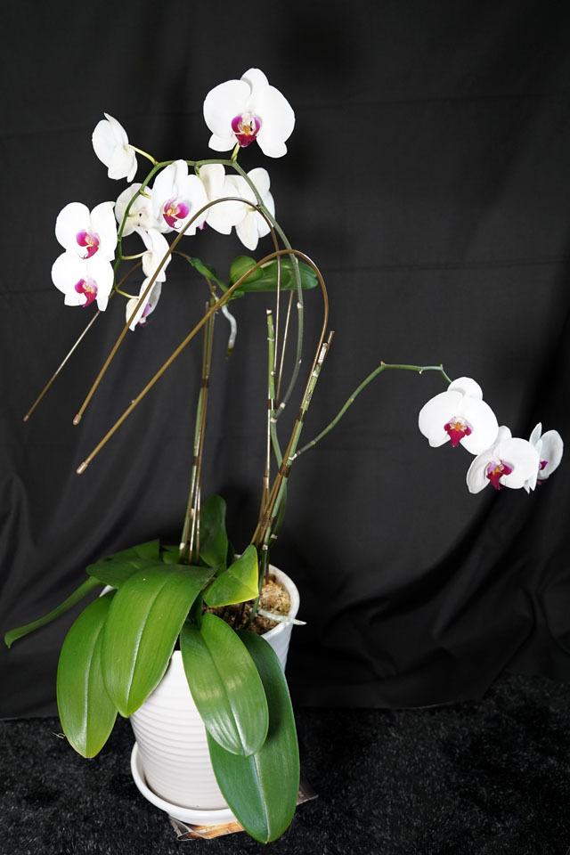 胡蝶蘭 4.JPG
