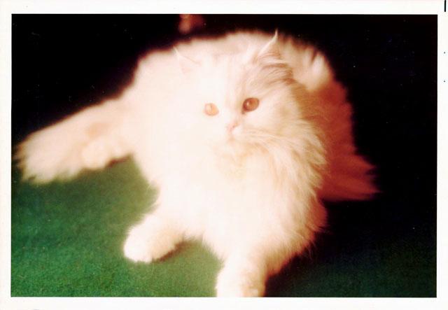 ペルシャ猫 復活.jpg