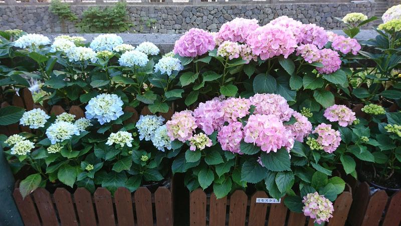 ながさき紫陽花まつり 3.JPG