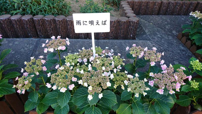 ながさき紫陽花まつり 4.JPG