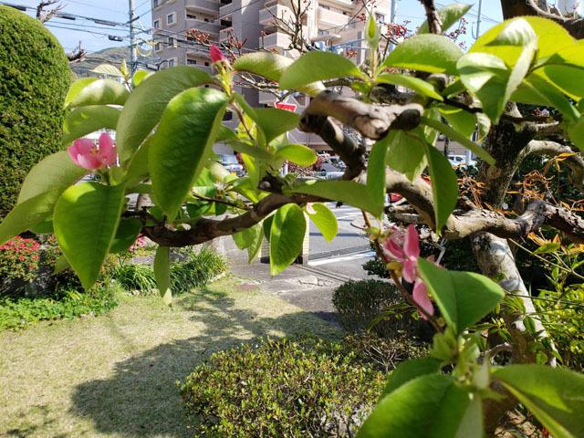 カリンの花 (2).jpg
