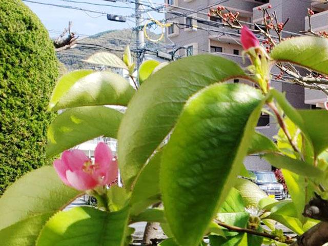 カリンの花 (3).jpg