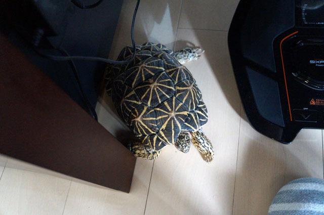 ホシガメ (3).JPG
