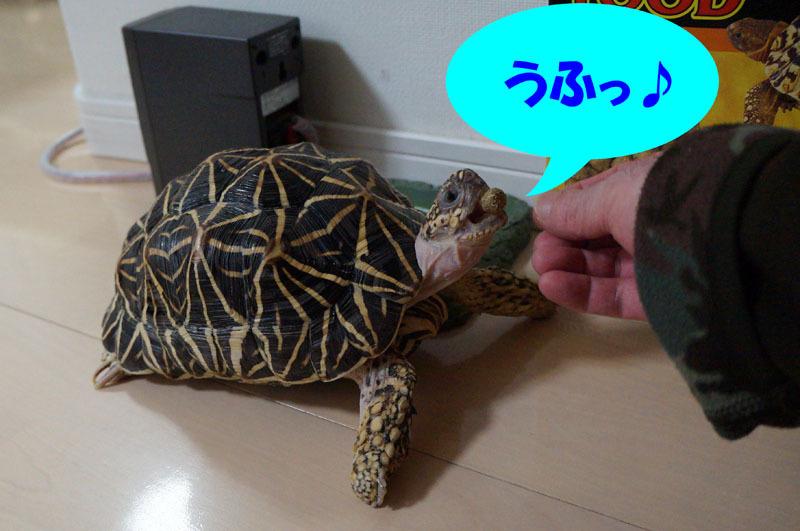 ホシガメ 7.JPG
