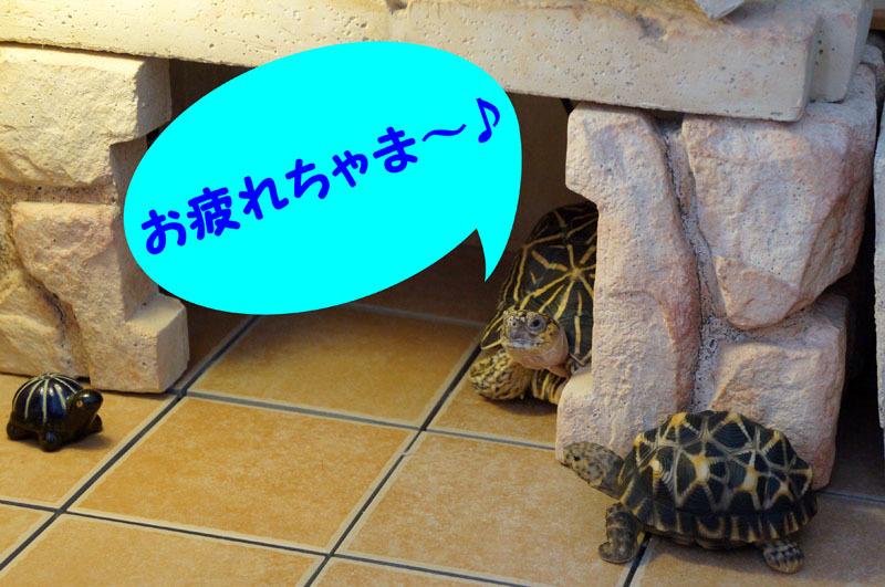 ホシガメ てんてん.JPG