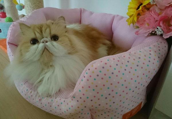 モコピンクの水玉ソファーの上.jpg