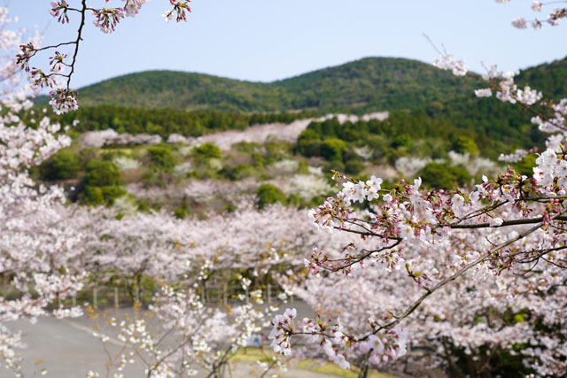 伊佐ノ浦公園 桜 (1).JPG