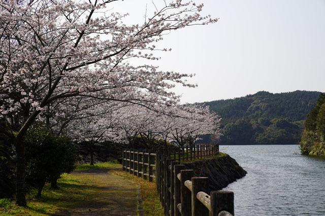 伊佐ノ浦公園 桜 (10).JPG