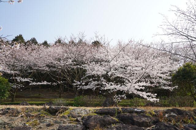 伊佐ノ浦公園 桜 (11).JPG
