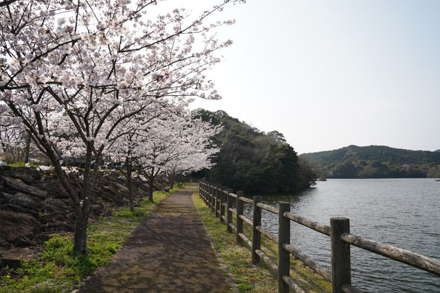 伊佐ノ浦公園 桜 (12).JPG