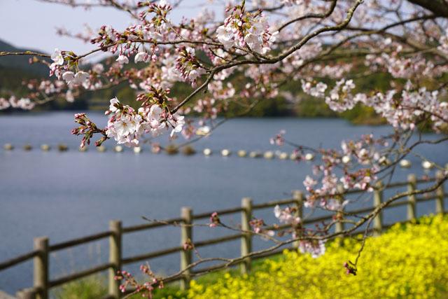 伊佐ノ浦公園 桜 (3).JPG