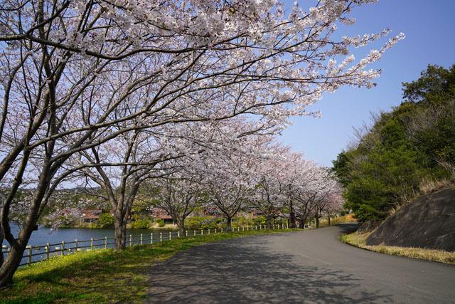 伊佐ノ浦公園 桜 (4).JPG
