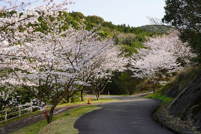 伊佐ノ浦公園 桜 (5).JPG