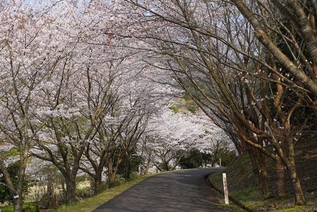 伊佐ノ浦公園 桜 (6).JPG