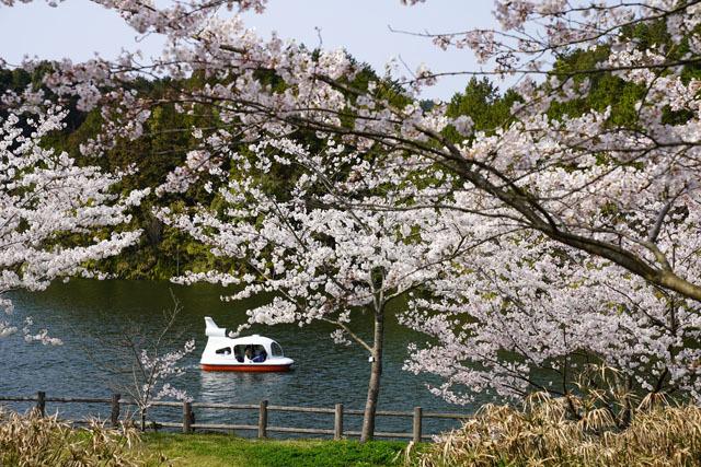 伊佐ノ浦公園 桜 (7).JPG