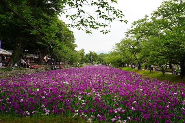 大村公園 花菖蒲園 11.JPG