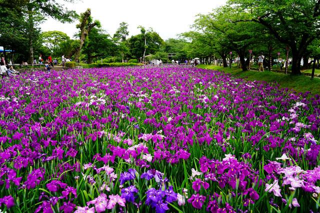 大村公園 花菖蒲園 2.JPG