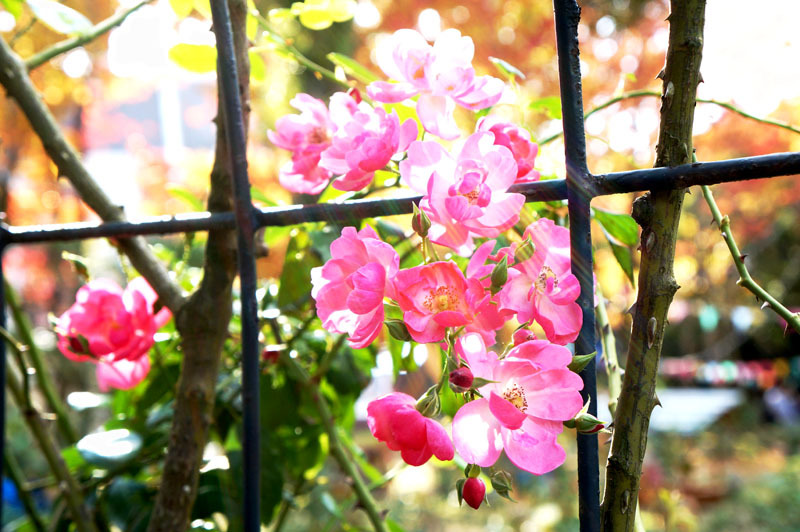 秋バラ祭 6.JPG