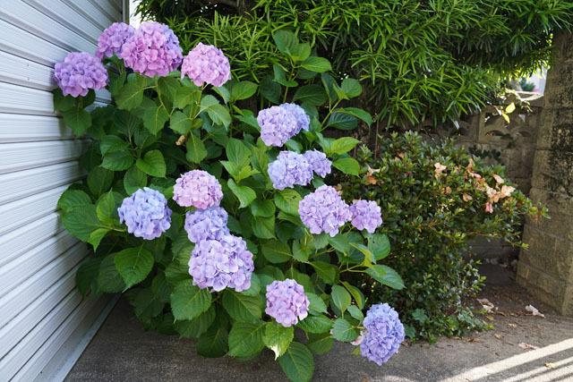 紫陽花 1.JPG