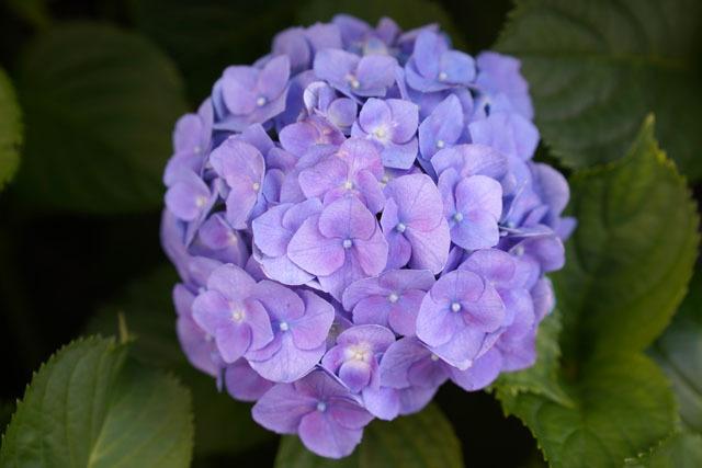 紫陽花 3.JPG