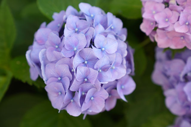 紫陽花 4.JPG