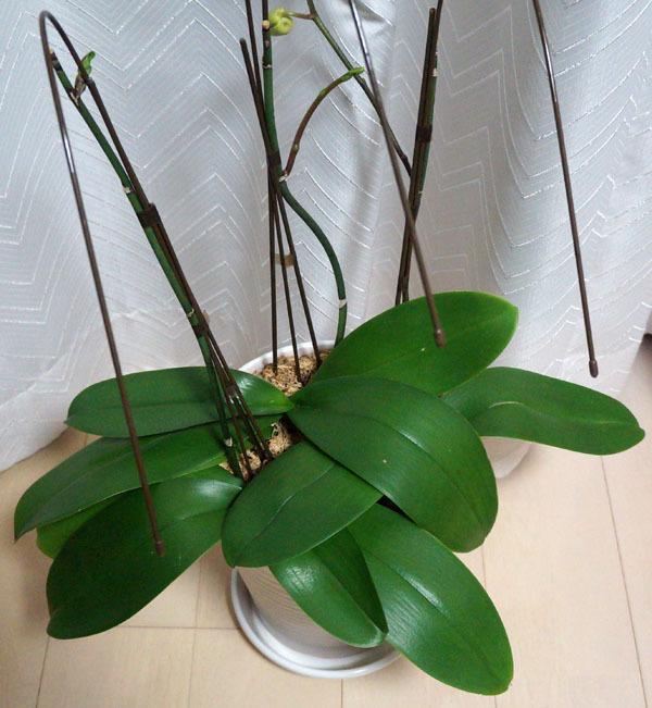胡蝶蘭 1.JPG
