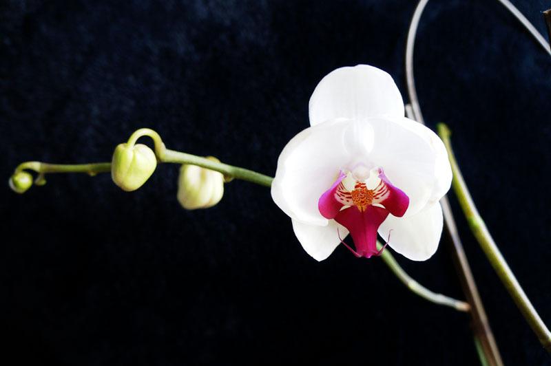 胡蝶蘭 2.JPG