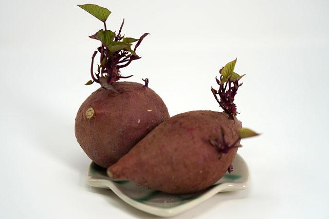 芋の発芽 (1).JPG