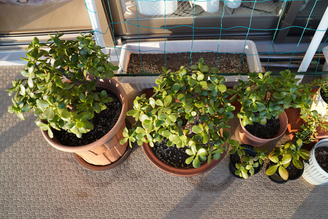 鉢植え (4).JPG