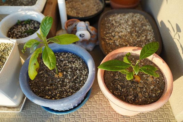 鉢植え (7).JPG