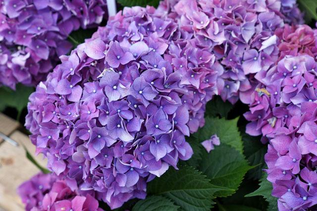 長崎 紫陽花祭り 2018 12.JPG