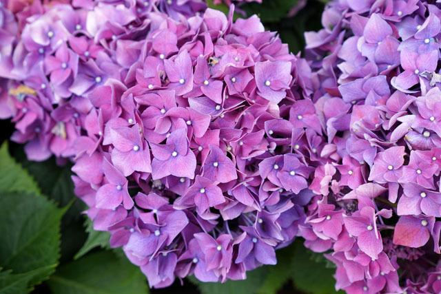 長崎 紫陽花祭り 2018 13.JPG